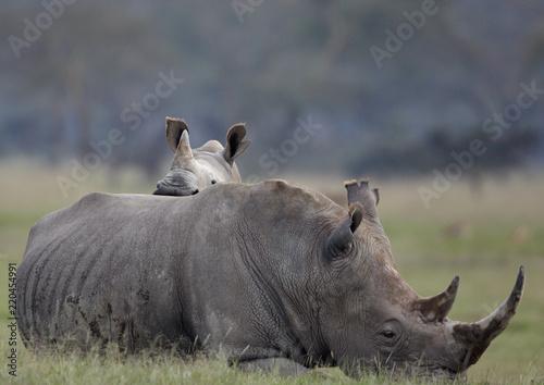 Foto op Aluminium Neushoorn African Black Rhino