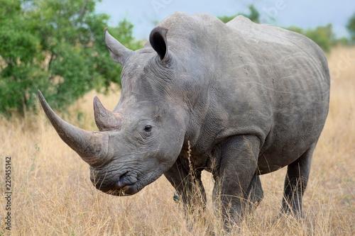 African Black Rhino Fototapeta