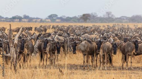 Canvas Prints Zebra wildbeest migration