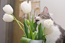 The Cat Eatig Tulips