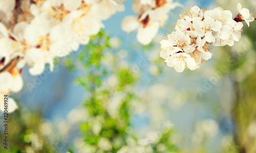 Fototapety, obrazy: Blooming cherry flowers for background
