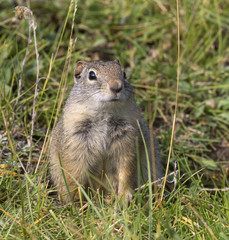 Naklejka na ściany i meble Uinta ground squirrel (Urocitellus armatus) portrait, Wyoming, USA