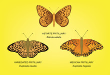Butterfly Fritillary Set Vecto...