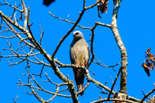Mississippi Kite Perched On A Tree Limb By Nest