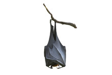 Bat Hanging Upside Down From T...