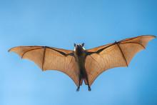 Flying Bat (Lyle's Flying Fox)