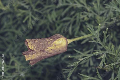 Fotografie, Obraz  Californian poppy