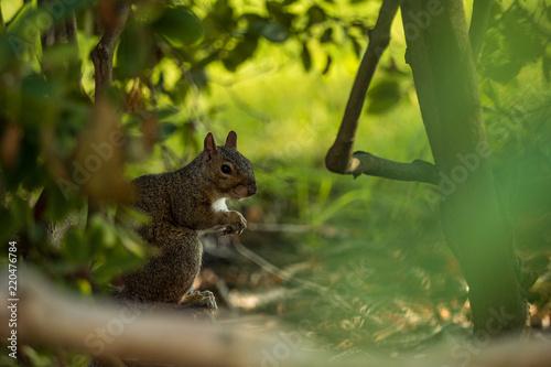 Zdjęcie XXL ładny brązowy wiewiórki jedzenie za zielone krzewy w cieniu drzew