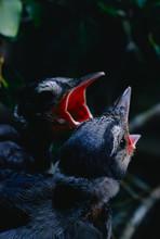 Blue Jay Babies In Nest (Cyano...