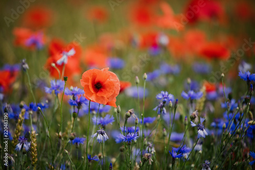 Fotobehang Poppy Corn poppies (Papaver rhoeas) and Cornflowers (Centaurea cyanus)
