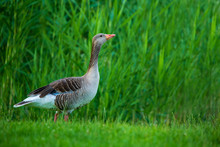 Gray Goose (Anser Fabalis) Stays On Grass At Green Fuzzy Background.