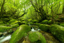 Moss Covered Stones In A Small Stream. Surrounded By Old Trees. Yakushima Island, Japan.
