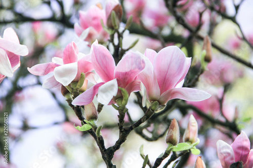 Inflorescence Of A Gentle Bush Of Pink Magnolia Flowers On A Pink