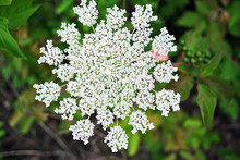 Daucus Carota (wild Carrot, Bird's Nest, Bishop's Lace,  Queen Anne's Lace), Close Up Organic Texture, Soft Blurry Background