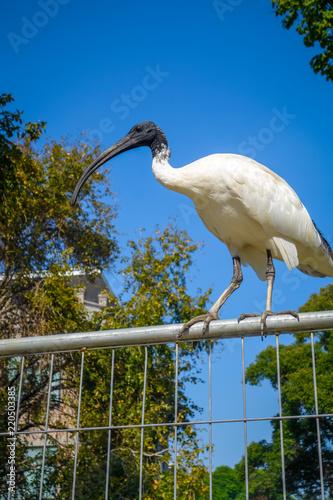 Poster Oceanië Black and white ibis in Sydney, Australia