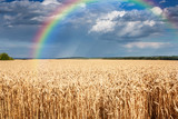 Fototapeta Tęcza - Summer rural landscape - field common wheat in the rays sun on background distant rainy sky and rainbow