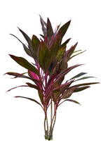 Ti Plant Or Cordyline Fruticos...