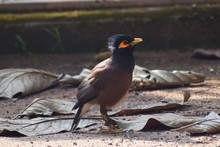 The Myna Or Mynah Is A Bird Of...
