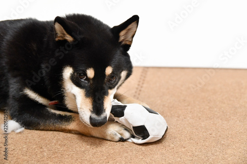 Fényképezés いたずらする黒い柴犬
