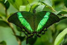 Green Butterfly With Green Bac...