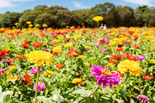 It Is Hitachi Beach Park In Ibaraki Prefecture Of Japan In Summer. It Is A Colorful Flower Called Zinnia. It Looks Like A Picture.