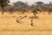 Cheetah Chasing Thomson Gazell...