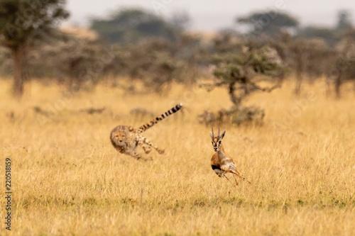 Billede på lærred Cheetah chasing Thomson gazelle among whistling thorns