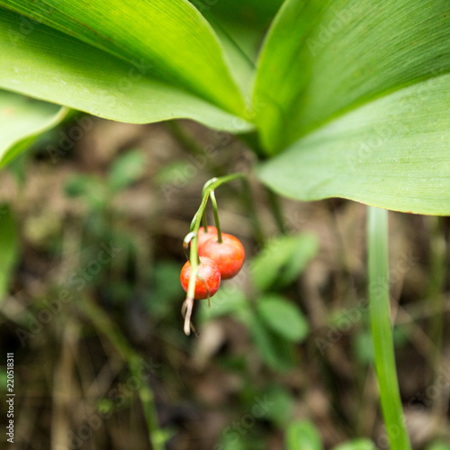 Poisonous red lily of the valley berries