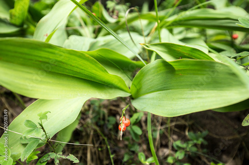 Foto op Canvas Lelietje van dalen Poisonous red lily of the valley berries
