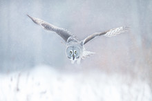 Close Up Of Great Grey Owl In ...