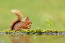 Close Up Of A Red Squirrel Eating A Nut