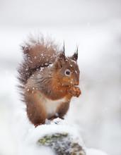 Cute Red Squirrel Sitting In T...