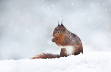 Close Up Of A Red Squirrel Sitting In The Snow