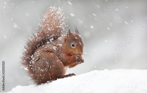 Fotobehang Eekhoorn Cute red squirrel sitting in the snow covered with snowflakes