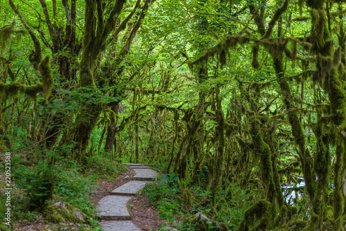 Fotografie, Obraz  Famous Boxwood, Buxus colchica, subtropical forest covered moss