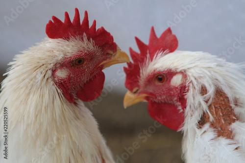 cabezas de gallos - Buy this stock photo and explore similar