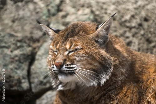 Lynx resting in the zoo