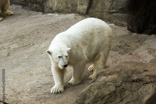 Tuinposter Ijsbeer Polar bear on the stone rock
