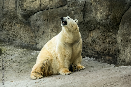Polar bear on the stone rock
