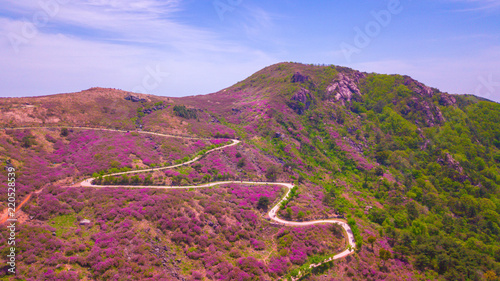Tuinposter Crimson Beautiful Royal Azalea Flower at Hwangmaesan mountain in Hapcheon city of South Korea. Hwangmaesan mountain with beautiful Royal Azalea Flower during Spring season. Beautiful nature of Hwangmaesan Mt.