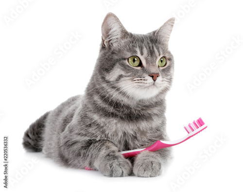 Beautiful gray tabby cat with toothbrush on white background