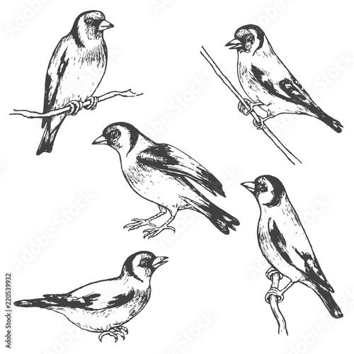 Photographie Hand Drawn Goldfinch  Bird Sketch