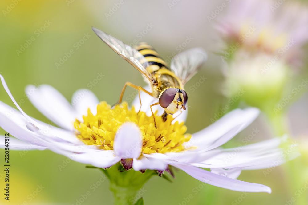 Fototapeta Große Sumpfschwebfliege Helophilus trivittatus Large Tiger Hoverfly
