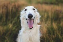 Close-up Portrait Of Happy Russian Borzoi Dog In The Field