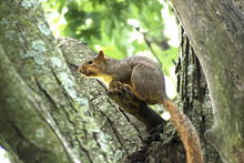 Fox Squirrel (Sciurus Niger) Perched On Branch In Guthrie Center, Iowa's Riverside Park.
