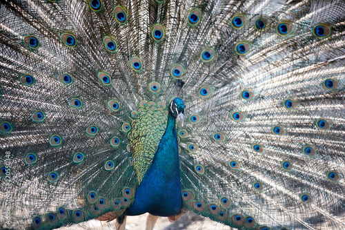 A beautiful male peacock expanded feathers. nice and colorfull