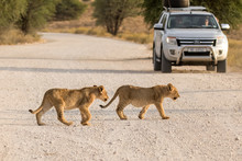 Two Lion Cubs Crossing A Gravel Road In The Kgalagadi Transfrontier Park In South Africa.. Traffic Has To Wait For The Cubs To Cross.