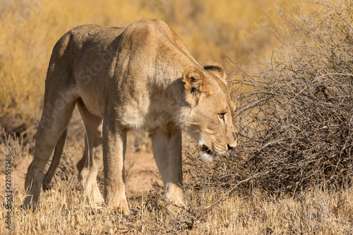 Foto  One lioness staring at something in the Kgalagadi Transfrontier Park