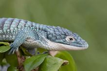 Blue Abronia (Mexican Alligato...