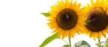 Freigestellte Sonnenblumen